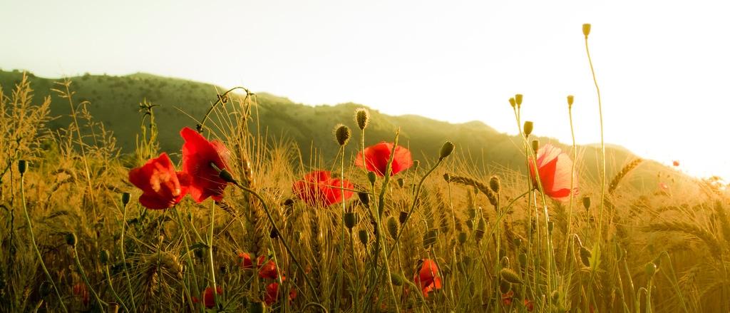 campo grano biologico
